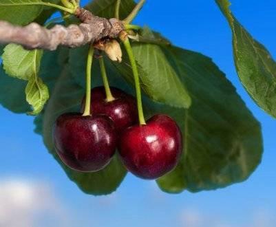 Описание сорта вишни: фея