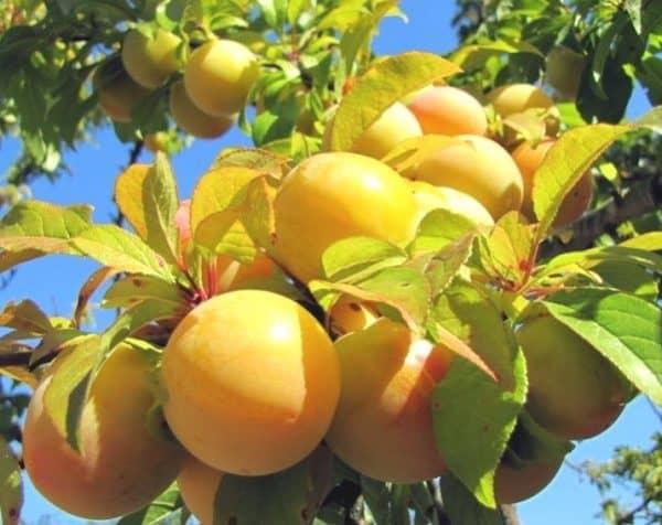 Симптомы камедетечения у персика и методы лечения, профилактика