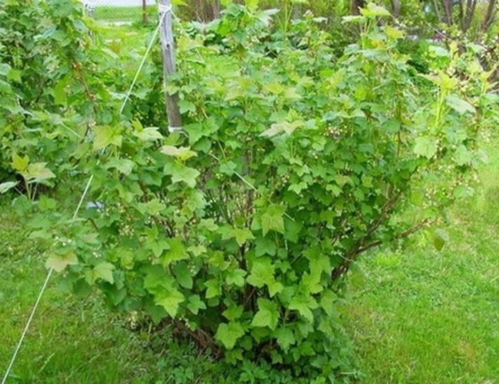 Смородина пигмей: особенности сорта, отзывы садоводов и правила ухода