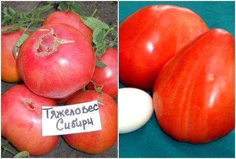 Тяжеловес сибири: вкусный помидор для холодного климата