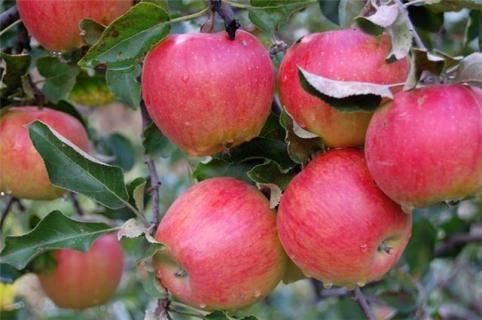 Красивые плоды и замечательный вкус — сорт яблонь красный ранний