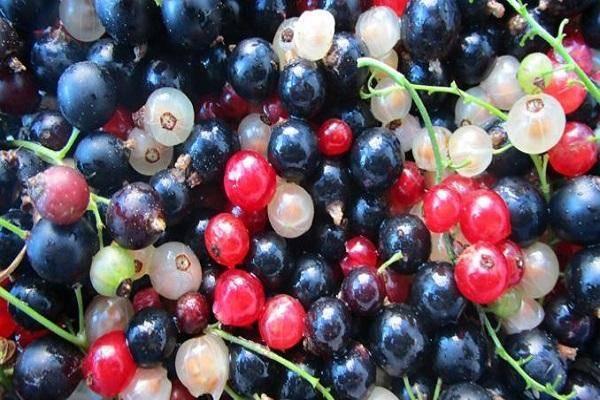 Какая смородина полезнее для человека — красная или черная, где больше витаминов