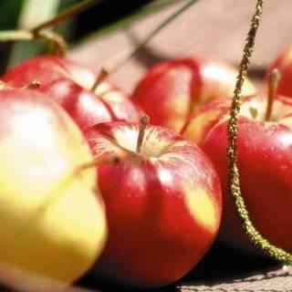 Яблоня коробовка — описание сорта