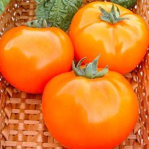 Выращивание, характеристика и описание томата сорта апельсин