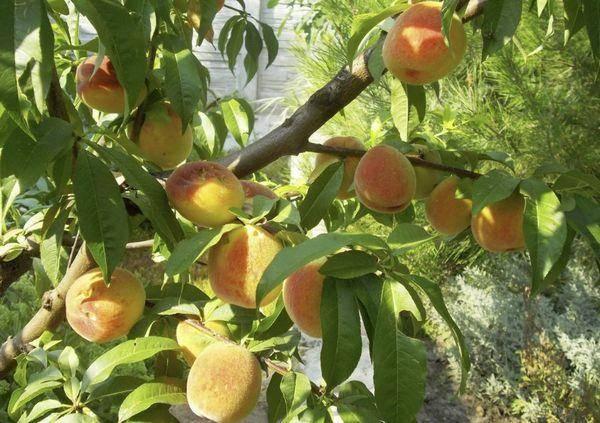 Характеристика и описание персика сорта Донецкий желтый, посадка и уход