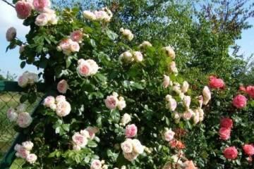 Описание и характеристики роз сорта Пэт Остин, тонкости выращивания