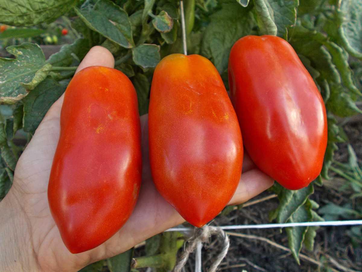 Характеристика и описание сорта томата «кемеровец»