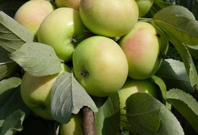 Яблоня феникс алтайский: особенности сорта и ухода