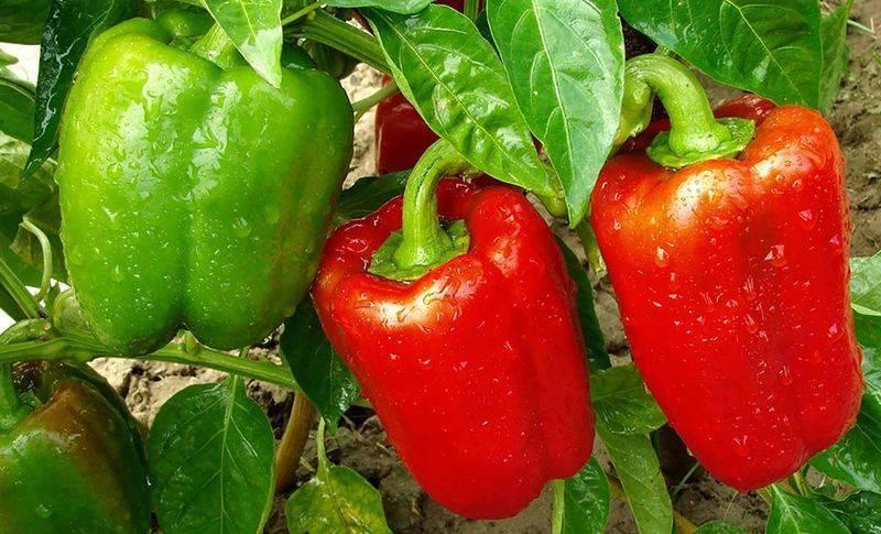 Как вырастить острый перец в теплице