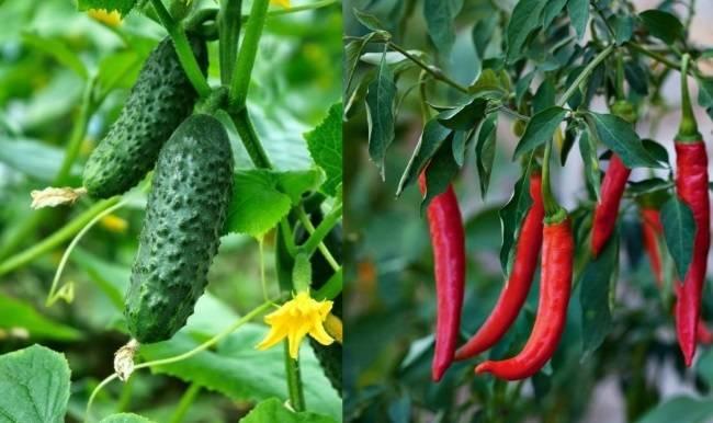 С чем лучше сажать перец в теплице: правила удачного соседства для хорошего урожая