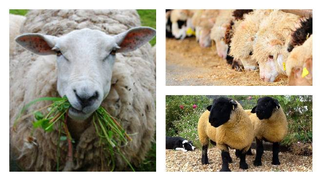 Рацион и кормление овец от а до я