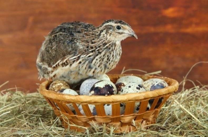 Сколько яиц можно получить от курицы и способы повышения яйценоскости