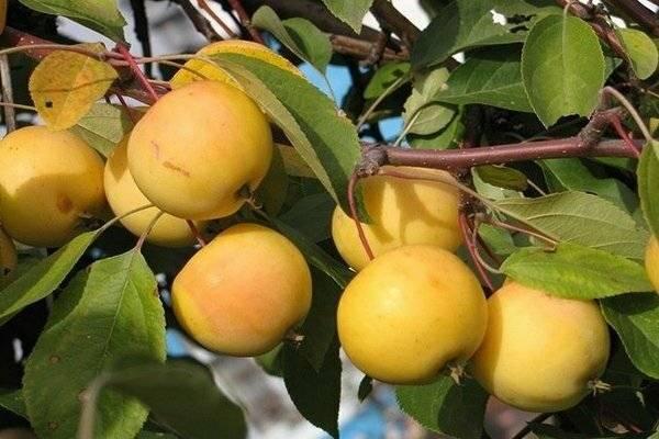 Описание сорта яблони Янтарь и ее разновидности, достоинства и недостатки