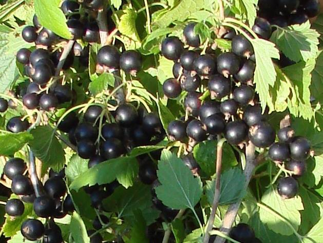 Черная смородина «дачница» — описание сорта, фото, посадка и уход