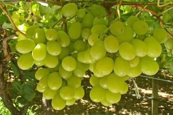 Виноград столетие: описание сорта и 7 правил ухода