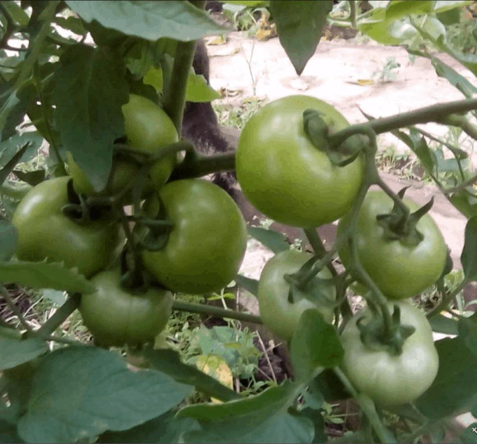 Томат гибридный подарок женщине f1: описание, нюансы выращивания, отзывы огородников