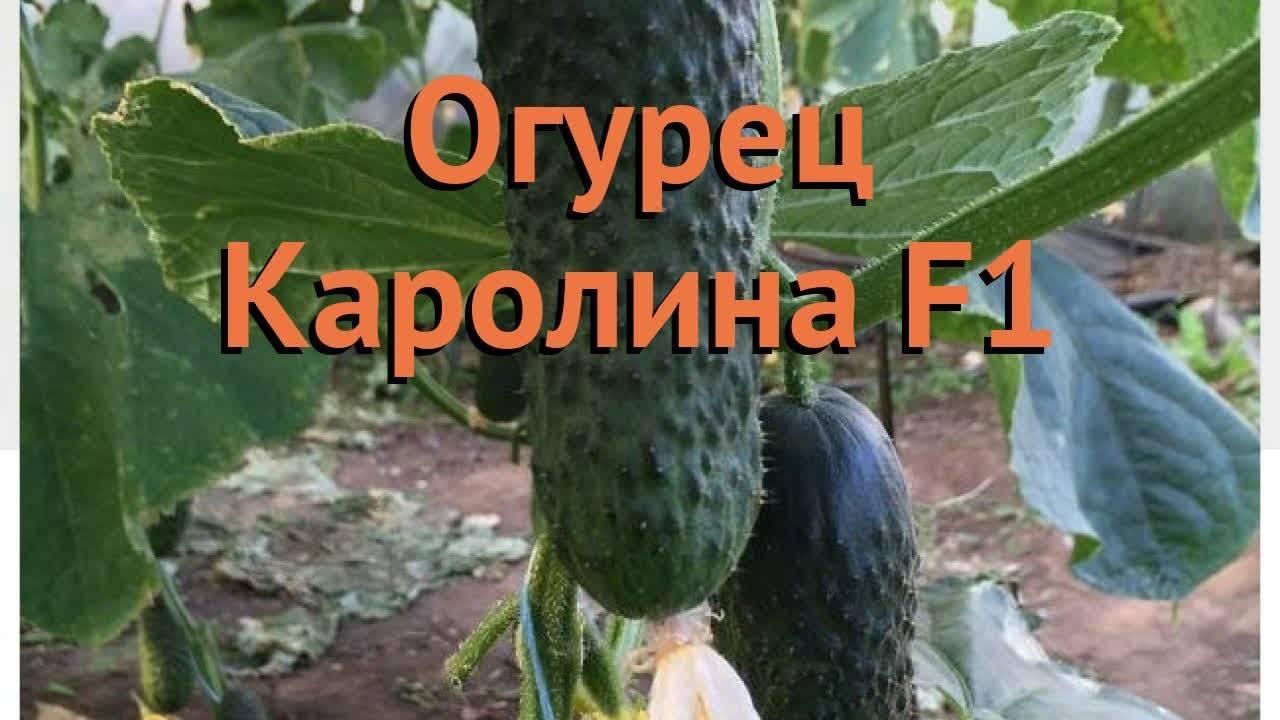 Огурец «маринда f1»: описание гибридного сорта, фото и отзывы