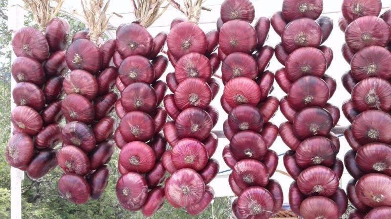 Ялтинский лук выращивание