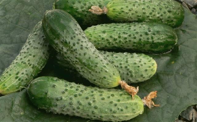 Сорт огурцов «журавленок» от крымских селекционеров для выращивания в теплом климате