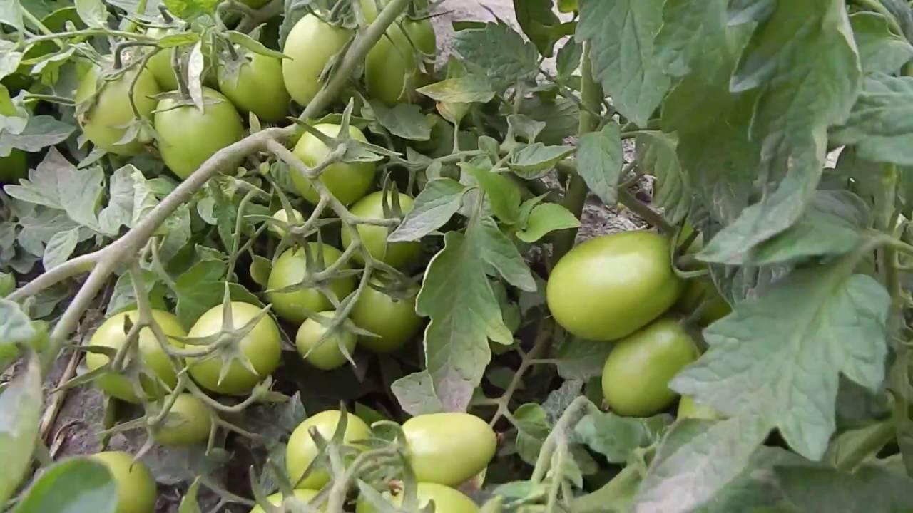 Описание сорта томата золотой век, его характеристика и урожайность