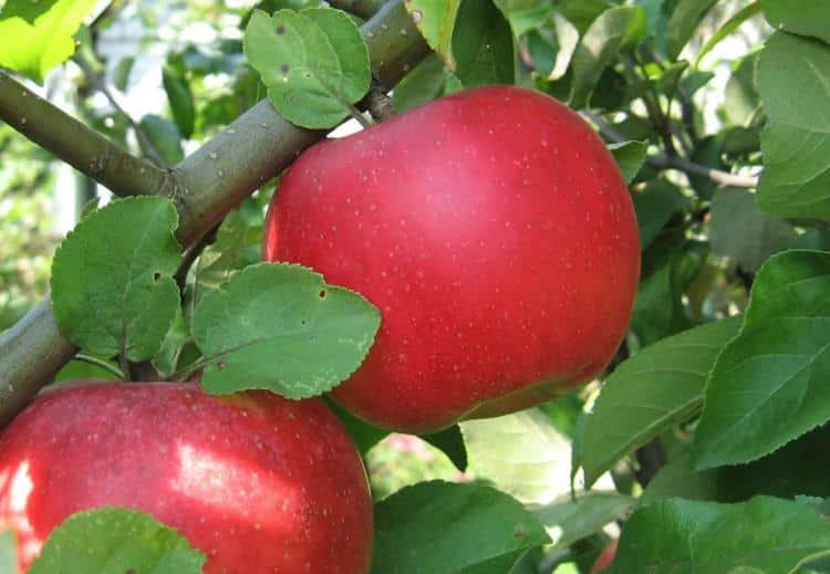 Описание и характеристики плодов сорта яблонь приземленное, особенности выращивания и ухода
