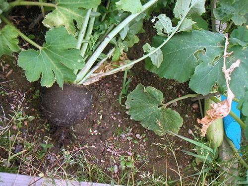 Как правильно убирать дайкон с грядки, когда проводить работы осенью и где хранить урожай?