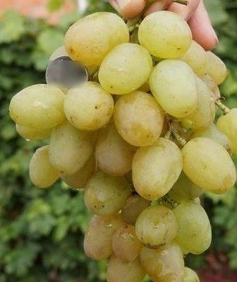 Виноград галбена ноу – описание сорта, особенности посадки и ухода