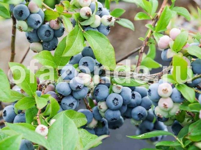 Как вырастить чернику из семян и другие решения сложной задачи разведения садовой ягоды