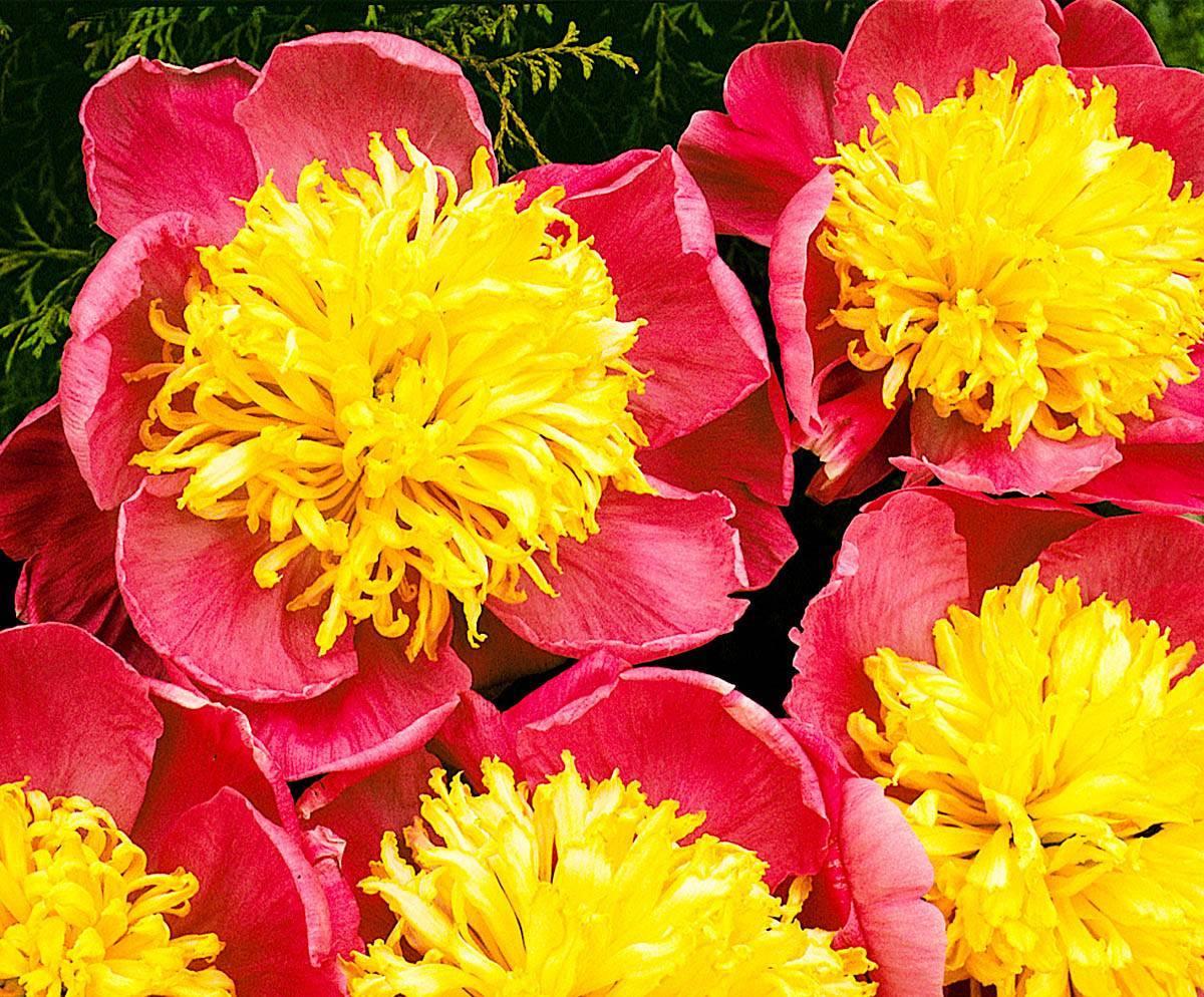 Топ 20 сортов пионов для украшения сада