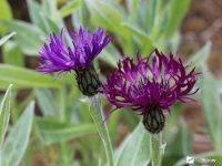 Аконит или борец – неприхотливое растение в саду