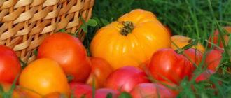 Высокоурожайный сибирский сорт (гибрид) томата «иваныч f1»: описание, характеристика, посев на рассаду, подкормка, урожайность, фото, видео и самые распространенные болезни томатов