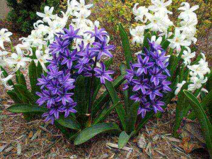 Домашний гиацинт (hyacinthus): многолетний цветок