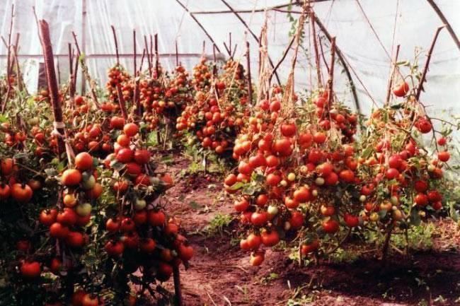 Основные правила схемы посадки томатов в теплице 3х6