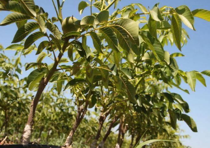 Описание, характеристика и особенности выращивания сорта грецкого ореха великан