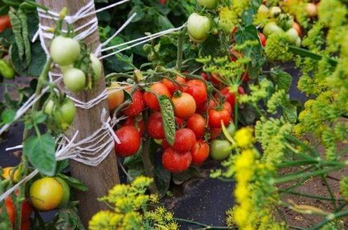 Томат куострале: характеристика сорта, урожайность, отзывы, фото