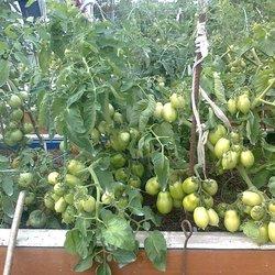 Характеристика и описание сорта томата чио чио сан, его выращивание и урожайность
