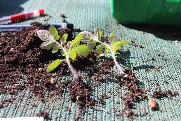 Почему не всходят и медленно растут помидоры, что делать
