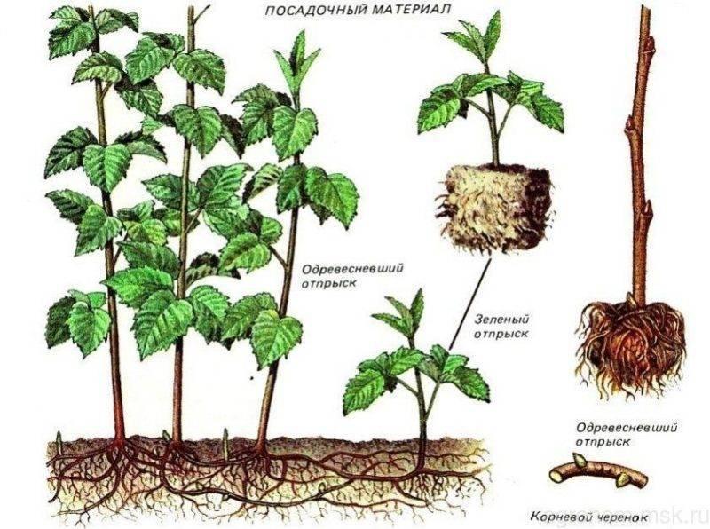Как размножить малину осенью черенками. осеннее черенкование малины
