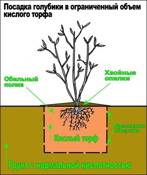 Выращивание голубики из семян в домашних условиях