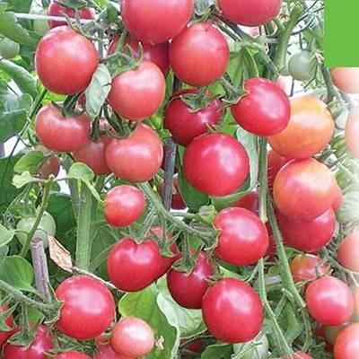 Сорт помидора «жемчужина сибири»: фото, отзывы, описание, характеристика, урожайность