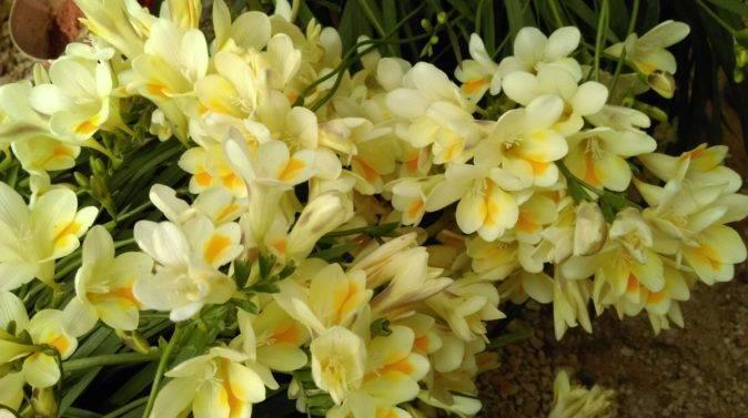 Выращивание фрезии из луковиц и уход за цветком