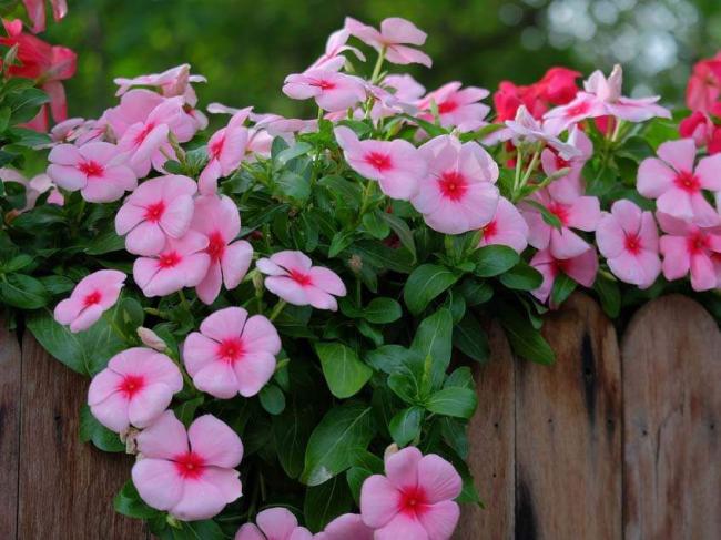 Катарантус: выращивание из семян в домашних условиях