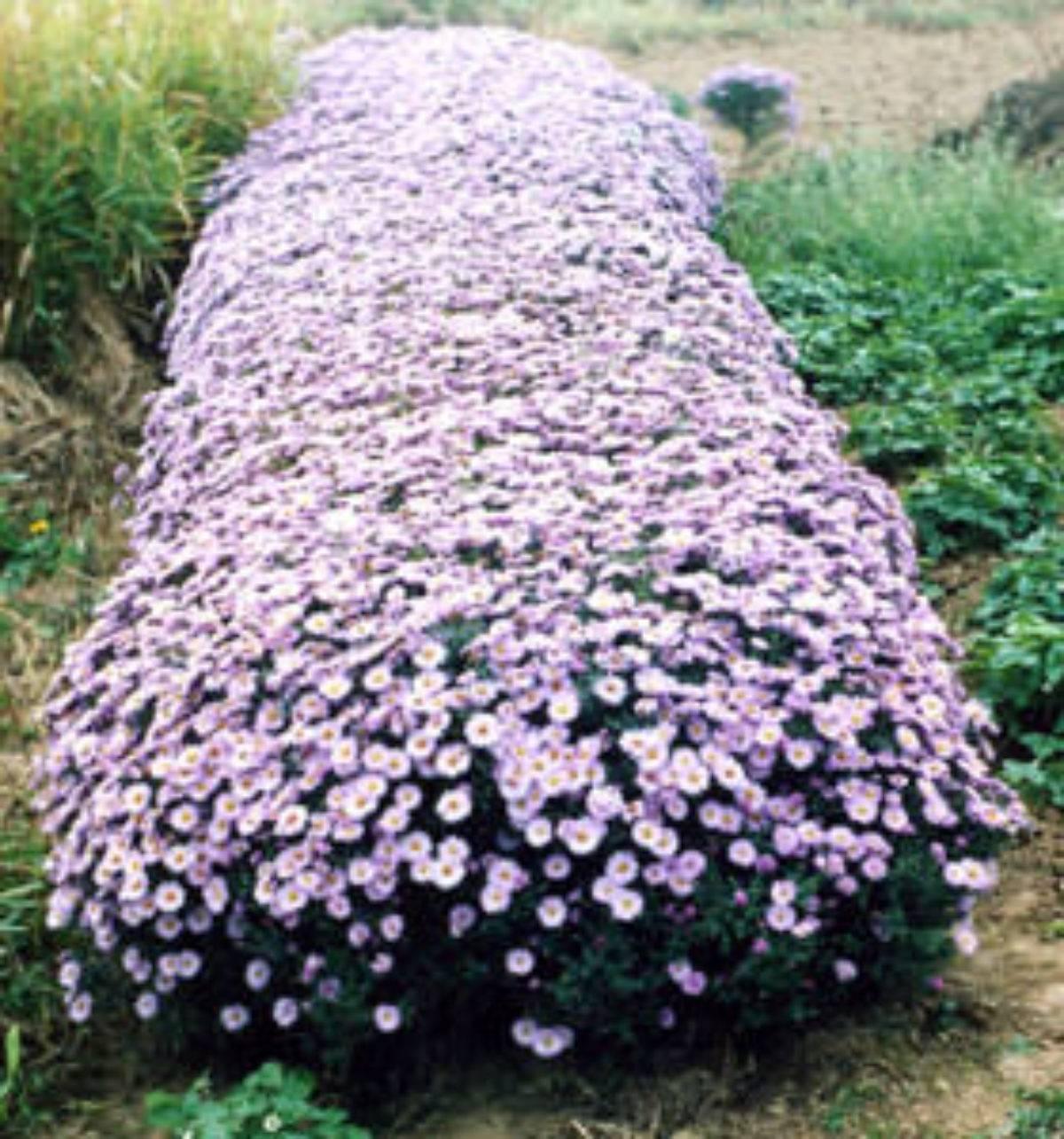 Астры – выращивание из семян. когда сажать на рассаду и в грунт
