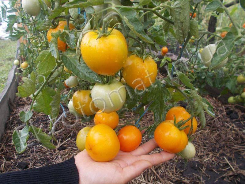 Описание томатов сорта царская ветка, правила их выращивания