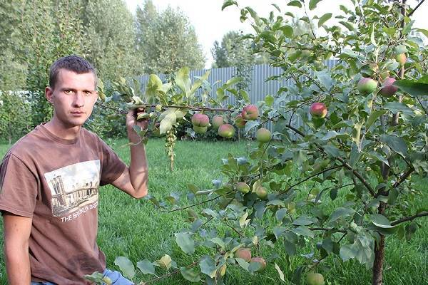 Яблоня вишневое: особенности сорта и ухода