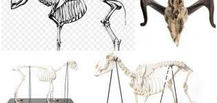 Периферический скелет