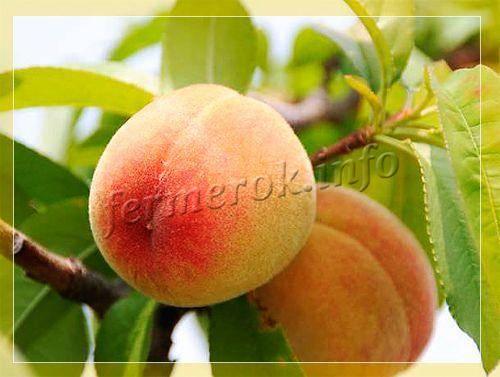 Персик золотой юбилей описание сорта фото отзывы