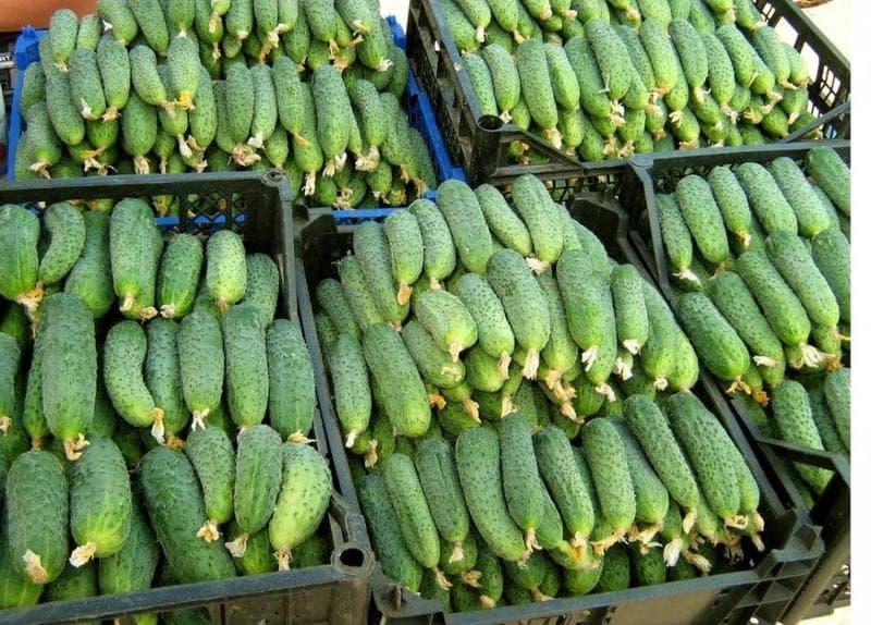 Самые урожайные сорта огурцов для теплиц из поликарбоната