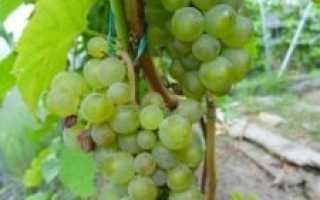 Виноград виктор: качества сорта и нюансы выращивания