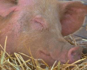 Заболевание рожа у свиней: симптомы и лечение